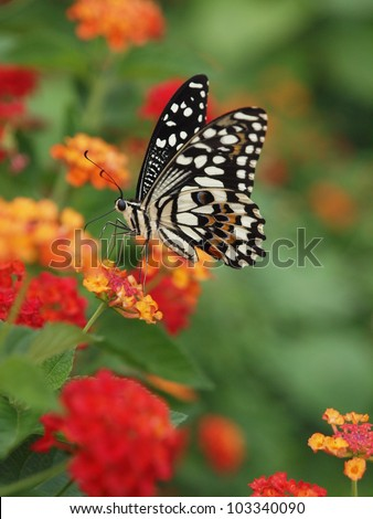 A beautiful butterfly stopping at a flower and eat its nectar. Got this shot with micro photography equipments. - stock photo