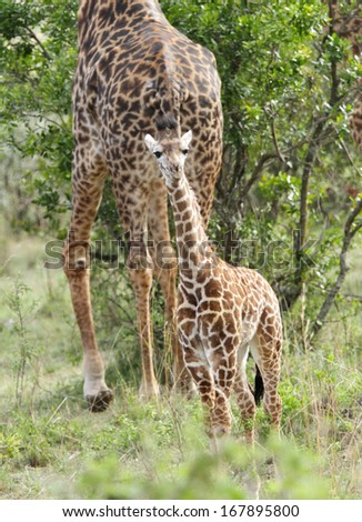 A beautiful calf and mother Giraffe