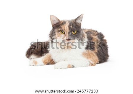 A beautiful Calico Domestic Longhair Cat laying at an angle while looking forward.  - stock photo