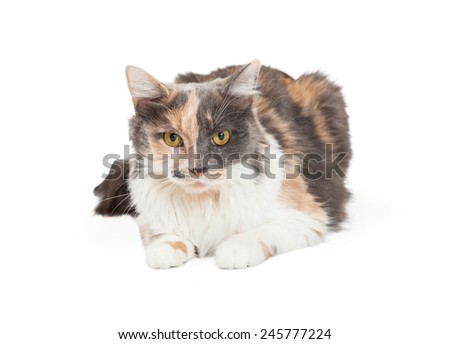 A beautiful Calico Domestic Longhair Cat laying while looking into the camera. - stock photo