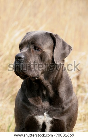 a beautiful cane corso italiano female with lovely expression in her face - stock photo