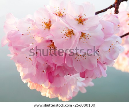 A beautiful cherry tree at full blossom against a blue sky. Delicate flowers on a tree during the annual cherry blossom festival in Washington DC, USA - stock photo