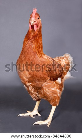 A beautiful chicken standing on dark grey paper. - stock photo