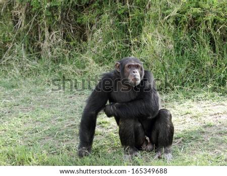 A beautiful Chimpanzee at Ol Pejeta Conservancy - stock photo