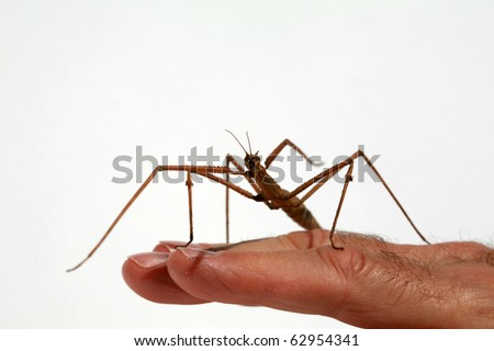 "a beautiful close up image of a ""Carausius morosus"" aka 'Indian"" and ""laboratory stick insect"" or ""walking Stick"" isolated on white"