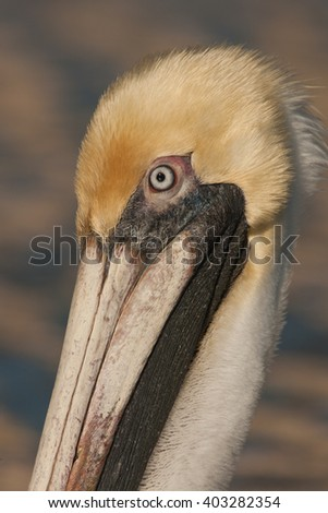 A beautiful closeup portrait of an brown pelican ocean bird in the wonderful and colorful evening light in Florida