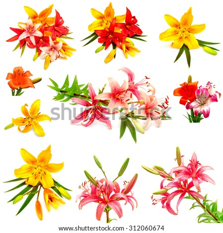 A beautiful collection of colorful lilies with buds isolated on a white background - stock photo