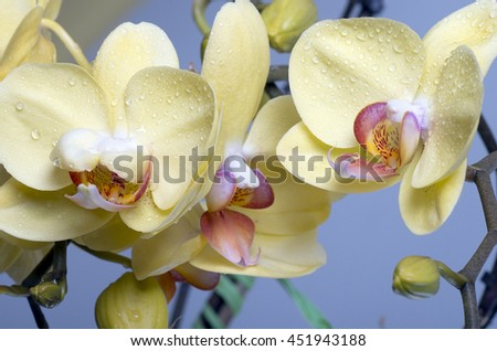 A beautiful colorful flower Orchid, phalaenopsis. - stock photo