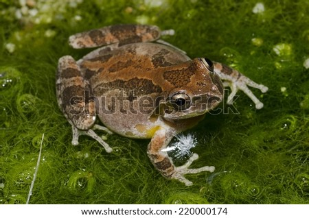 A beautiful copper Baja-California treefrog (Pseudacris hypochondriaca hypochondriaca) in Southern California.  - stock photo