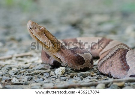 A beautiful copperhead snake (Agkistrodon contortrix) found in the Shenandoah Valley in Virginia, USA.  - stock photo