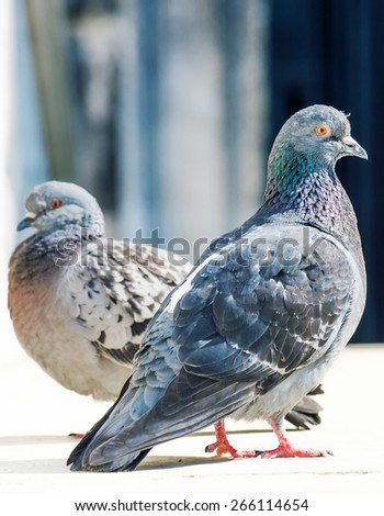 A beautiful couple of doves in loving - stock photo