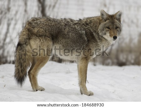 A beautiful Coyote sporting its winter coat stands alertly in its enclosure at a Wisconsin wildlife park.