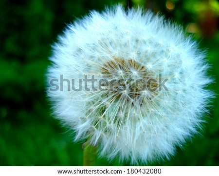 A beautiful dandelion on a grass background - stock photo