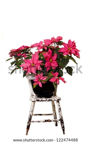 A beautiful display of a Pink Christmas Poinsettia on a vintage chair and isolated white background. - stock photo