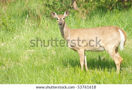 A beautiful doe in the late afternoon sun wanders through a meadow with copy space.