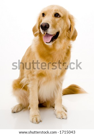 A beautiful dog shot in a studio over white background