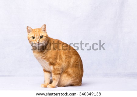 A Beautiful Domestic Orange Striped cat. Animal portrait. - stock photo
