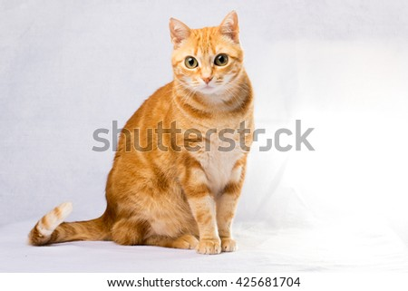 A Beautiful Domestic Orange Striped cat. Animal portrait.