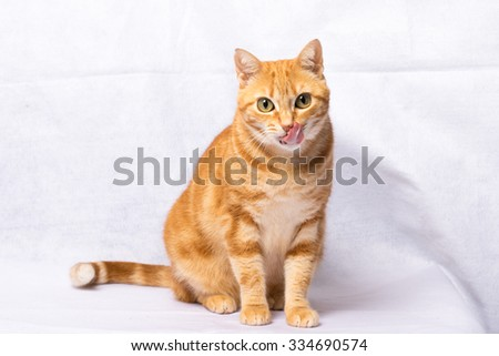 A Beautiful Domestic Orange Striped cat tongue out. Animal portrait.