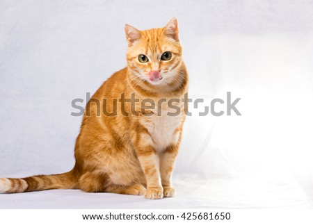 A Beautiful Domestic Orange Striped cat with tongue out. Animal portrait. - stock photo