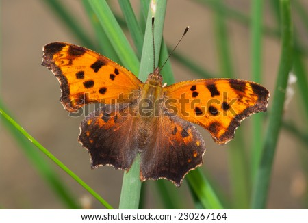 A beautiful Eastern Comma spreads its wings in a Wisconsin meadow to gather the heat of the summer sun. - stock photo