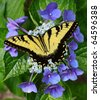 A Beautiful Eastern Tiger Swallowtail Butterfly feeding on a Hydrangea bloom with room for your text - stock photo