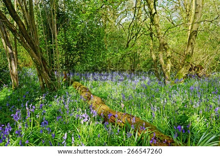 A beautiful English bluebell, Hyacinthoides non-scripta, wood in spring, lit by afternoon sunlight, Westonbirt Arboretum, Nr Tetbury The Cotswolds, Gloucestershire, United Kingdom