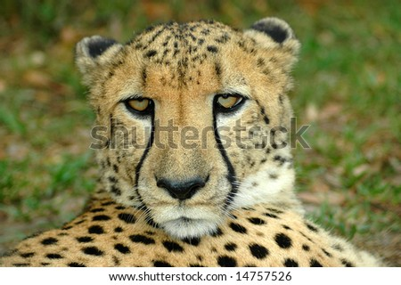A beautiful face of an African Cheetah predator head portrait watching other Cheetahs in a game reserve in South Africa