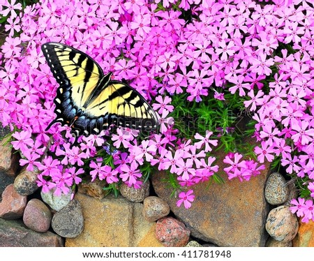 A beautiful female Eastern Tiger Swallowtail Butterfly (Papilio glaucus) at pink creeping phlox. - stock photo