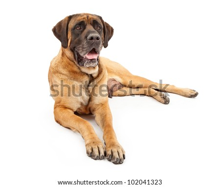 A beautiful female four year old apricot color English Mastiff dog laying down against a white backdrop