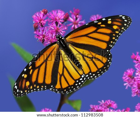 A beautiful female Monarch butterfly (Danaus plexippus) at ironweed, with blue sky in the background. - stock photo