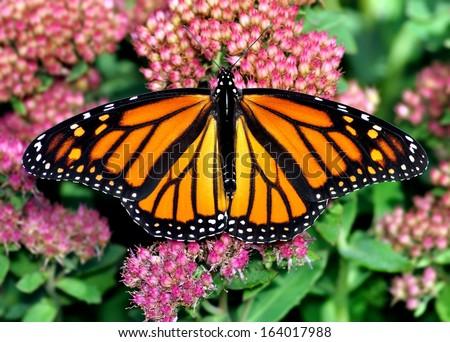 A beautiful female Monarch butterfly (Danaus plexippus) on pink sedum flowers. - stock photo
