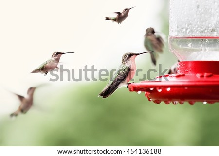 A beautiful female Ruby Throated Hummingbird (archilochus colubris) perched on a feeder with many other hummingbirds around her. Extreme shallow depth of field with selective focus on bird in front. - stock photo