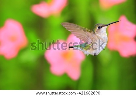 A beautiful female Ruby- throated Hummingbird (Archilochus colubris) with blurred garden flowers in the background. - stock photo