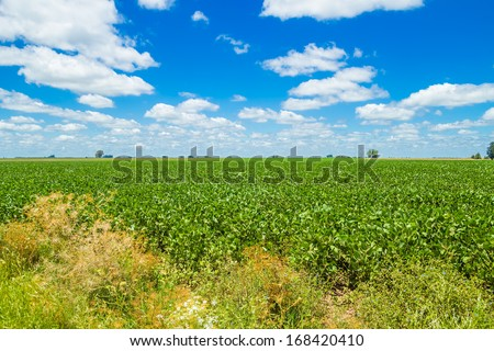 A beautiful field in the countryside, planted with soybean, under a nice blue sky, - stock photo
