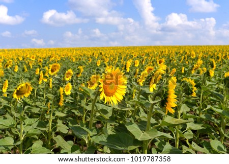 A beautiful field of sunflower flowers on a blue sky background. Yellow
