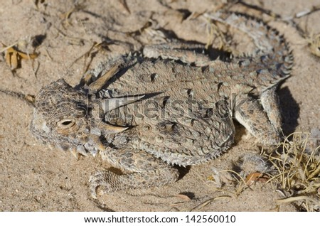 A beautiful flat-tailed horned lizard in the desert. - stock photo