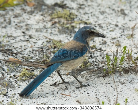 A beautiful Florida Scrub Jay, an endangered species, forages on a sand path in scrub habitat in central Florida. - stock photo