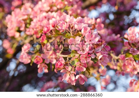 Beautiful flowering crabapple tree bright pink stock photo royalty a beautiful flowering crabapple tree with bright pink blooms in spring mightylinksfo