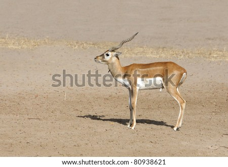 A beautiful Gazelle antelope