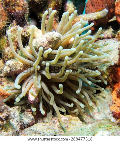 A beautiful Giant Carribean Anemone. Photographed along the reefs of Curacao. - stock photo