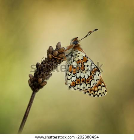 A beautiful  Glanville Fritillary butterfly - stock photo