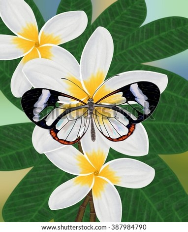 A beautiful Glasswinged butterfly (Greta oto) at tropical plumeria flowers illustrated by Steven Russell Smith. - stock photo
