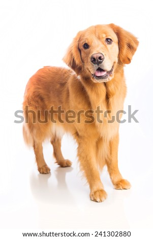 A beautiful golden retriever dog