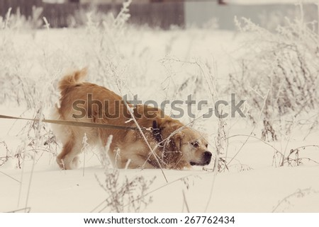 A beautiful Golden Retriever dog running, walking and playing outside in white snow. Toning effect done with a vintage retro Instagram style filter - stock photo