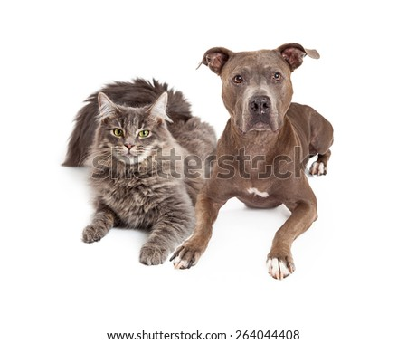 A beautiful gray color cat and dog laying close together and looking forward at the camera