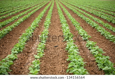 a beautiful green Bean Field with Rows and Rows of Green String Beans growing in the rich brown earth - stock photo