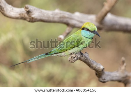 A beautiful Green Bee-Eater Isolated - stock photo