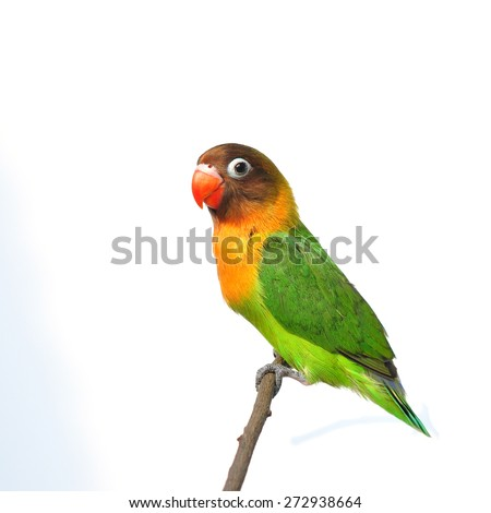 a beautiful green parrot lovebird isolated on white background