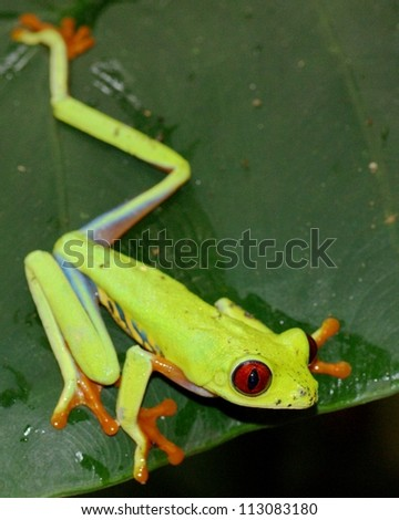 A beautiful green Red-eyed Treefrog, Agalychnis callidryas, ready to jump - stock photo